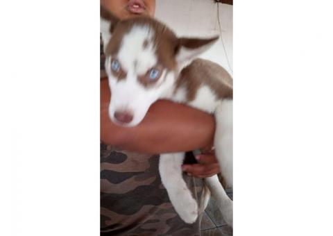 Filhote de  Husky Siberiano pelagem wolly olhos azuis